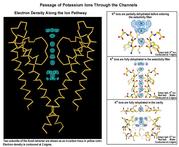 'Transporte de iones a través de canales en membrana celular'