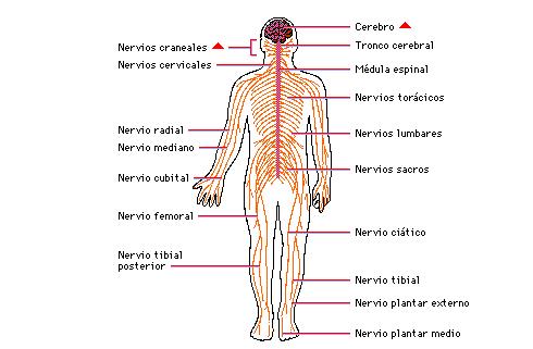 Encuentra aquí información de Sistema nervioso somático y autónomo ...