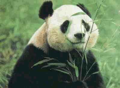 'Oso Panda'