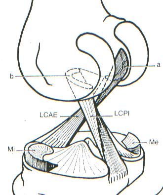 Ligamentos