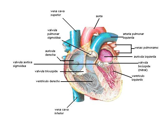 Encuentra aquí información de Aparato circulatorio para tu escuela ...