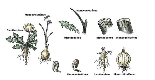'Germinación de la semilla'