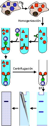 'Técnica inmunohistoquímica'