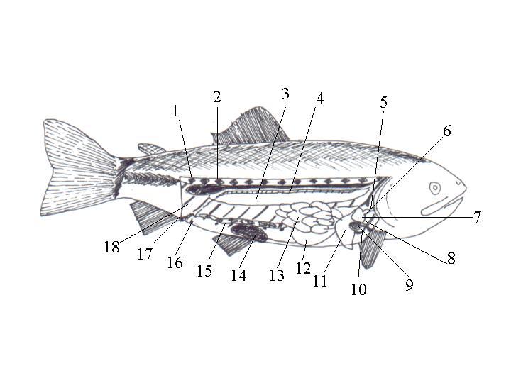 Encuentra aquí información de Disección de una Trucha Arcoiris para ...