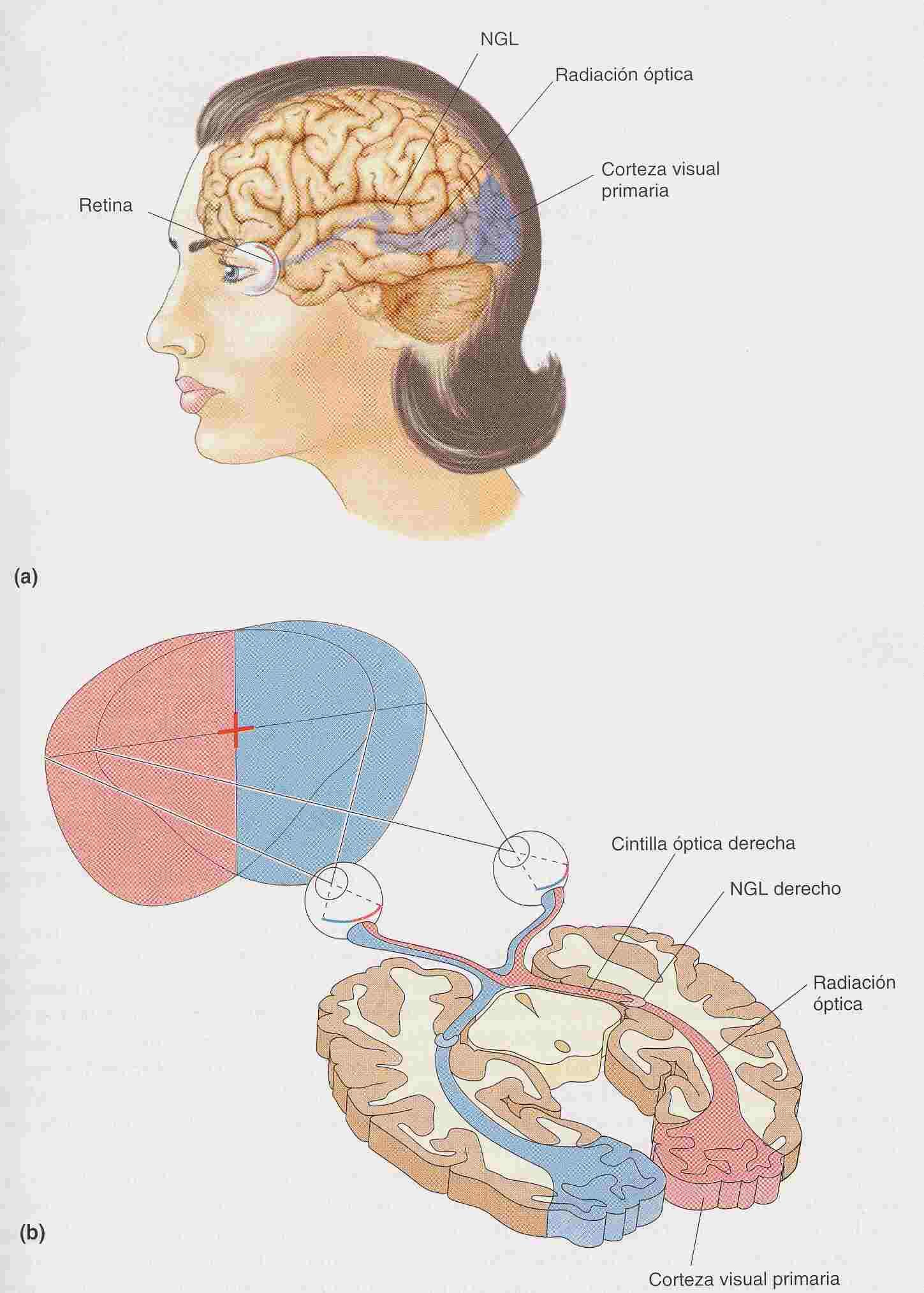 Encuentra aquí información de Sistema visual y ocular para tu ...
