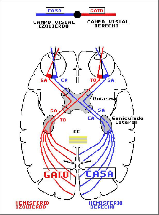 Encuentra aquí información de Anatomía ocular para tu escuela ¡Entra ...