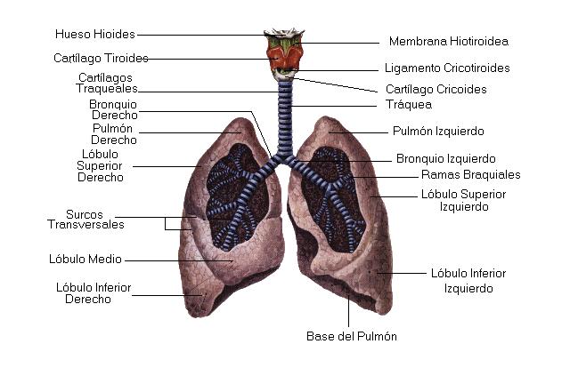 Encuentra aquí información de El sistema respiratorio humano para tu ...