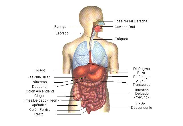 Encuentra aquí información de Aparato digestivo humano para tu ...