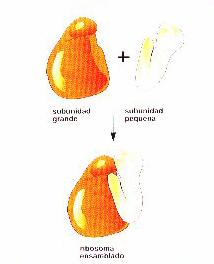 Oxidación celular