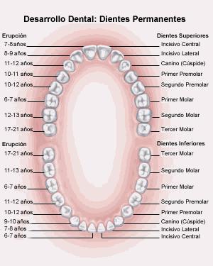 'Morfolog�a dental'