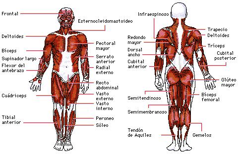 Encuentra aquí información de Sistema esquelético y muscular para tu ...