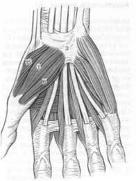 Musculatura del avantbraç