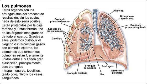 Encuentra aquí información de Órganos del cuerpo humano para tu ...
