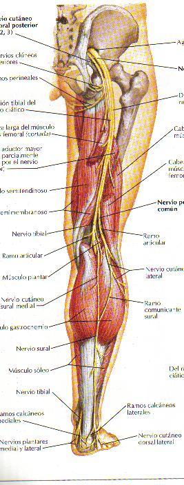 Encuentra aquí información de Nervio ciático para tu escuela ¡Entra ...