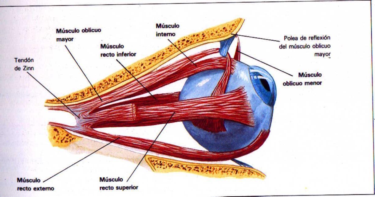 Limpieza e identificación del ojo vacuno