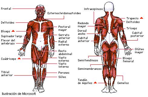 Encuentra aquí información de Los músculos para tu escuela ¡Entra ya ...