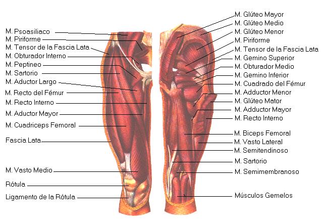 Encuentra aquí información de Músculos de la pierna para tu escuela ...
