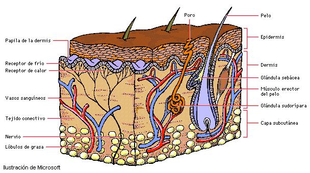 La piel: estructura