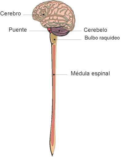 'Sistema nervioso'