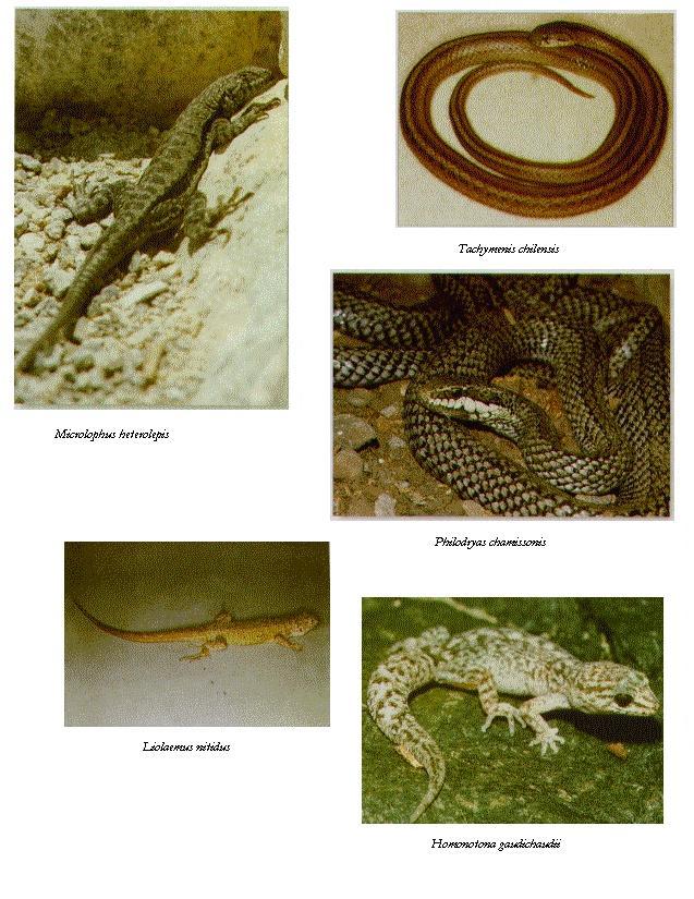 Reptiles chilenos