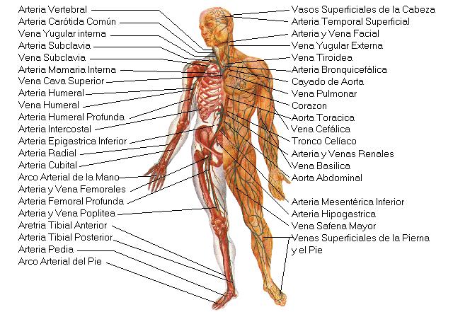 Encuentra aquí información de Sistema circulatorio para tu escuela ...